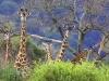 IlkkaJaakola.Cat6Giraffe