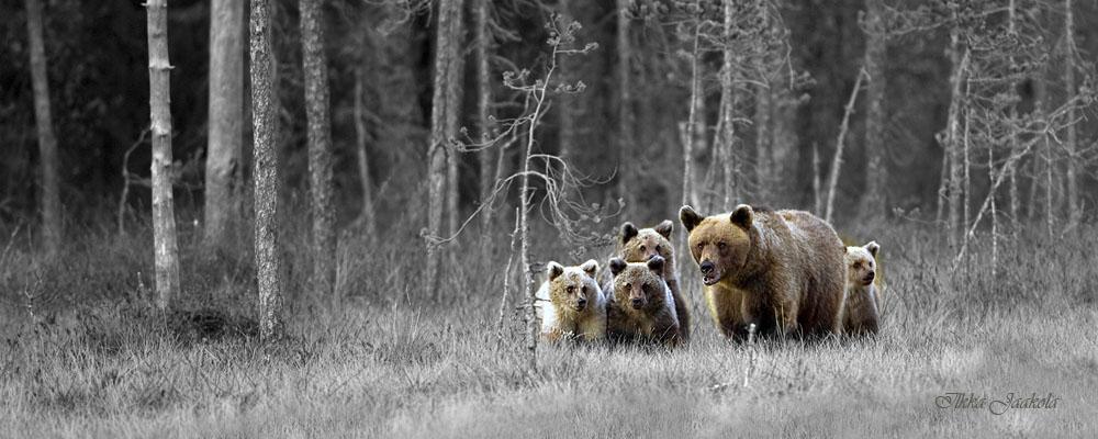 Äitikarhu ja neljä poikasta