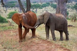 Gepardi ja norsu st