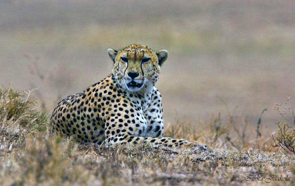 Gepardi makuulla s