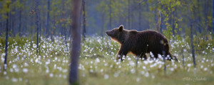 Karhu tupasvillametsässä