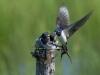 IlkkaJaakola.Cat8swallows